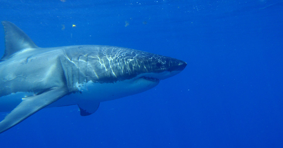 Great Whites 2010